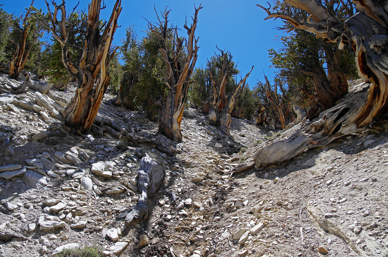 Methuselah Grove in the Ancient Bristlecone Pine Forest. This picture was taken about 3 miles in.  This is definitely the wildest area of the grove and my personal favorite area too.