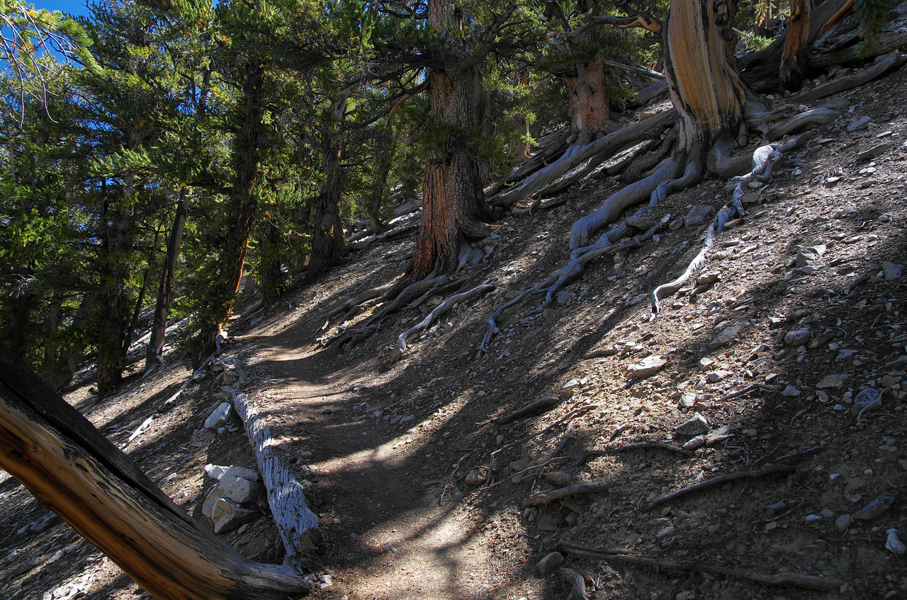 Methuselah Grove in the Ancient Bristlecone Pine Forest.  This pictures was taken with-in the first mile or so of the 4 1/2 mile loop.
