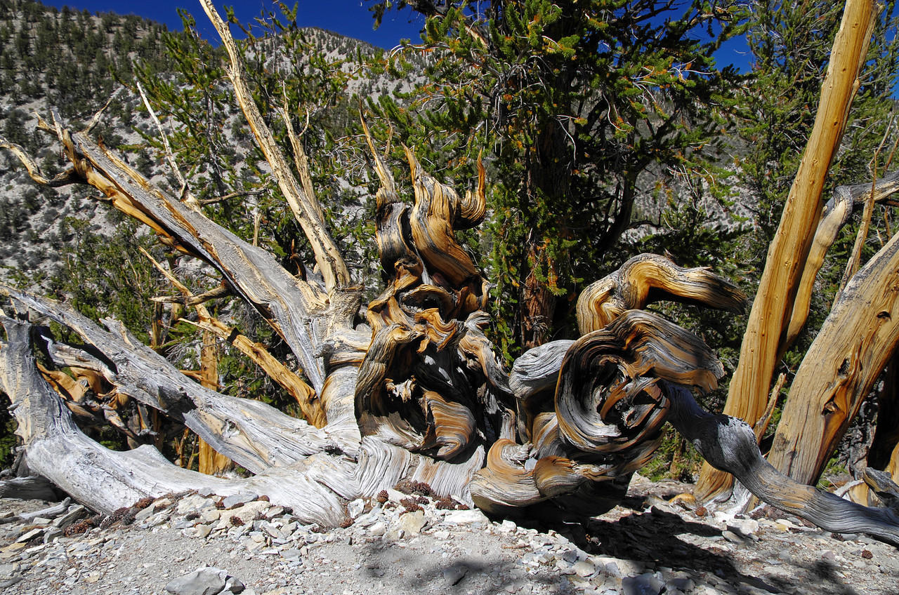 Methuselah Grove in the Ancient Bristlecone Pine Forest. This picture was taken about 3 miles in or so.  This is definitely the wildest area of the grove and my personal favorite area too.