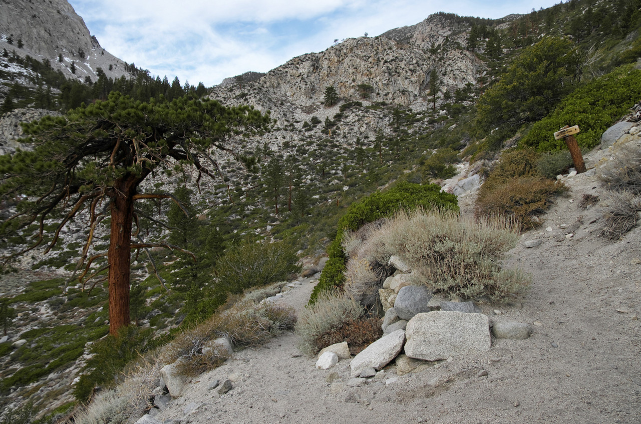 The signature flat-top tree along the Big Pine Creek trail~8,500ft.