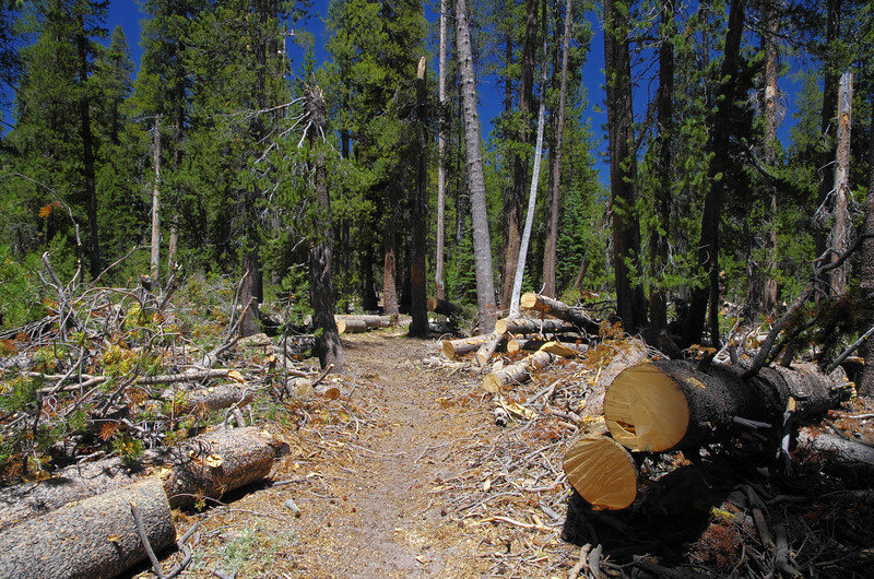Some trees have been removed from the Blackcap Trail near the Dusy Ershim Trail.