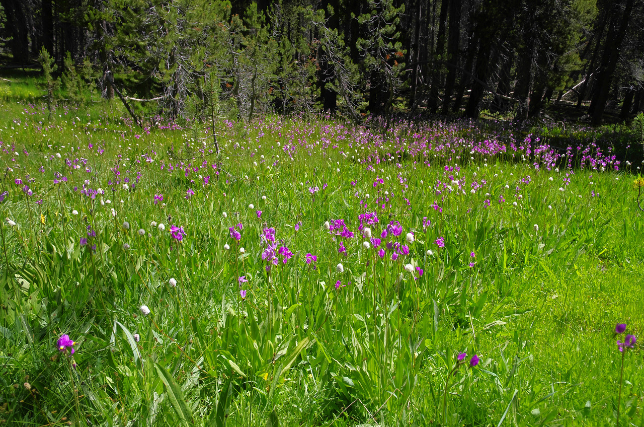 Wildflowers are all up and down the Blackcap Trail between Post Coral Creek and the Maxon Trailhead out of Courtright Reservoir.