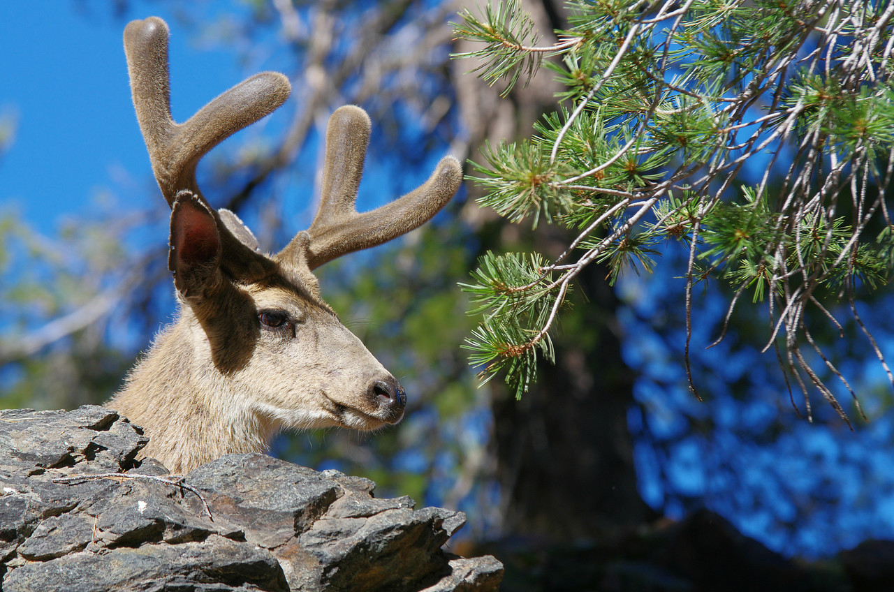A young Buck pops his head up from behind a rock to get a look at the photogapher who's stalking him for the shot, but not the kind with a gun--about 9,650ft.