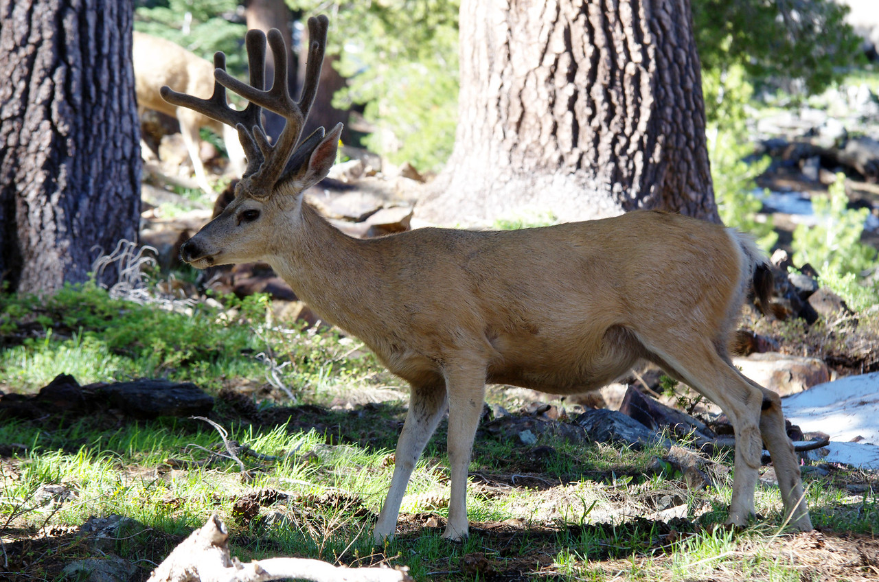 Velvet Antlers spotted--about 9,650ft.