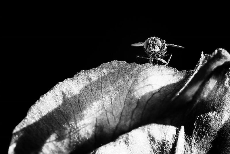 Dark Fly