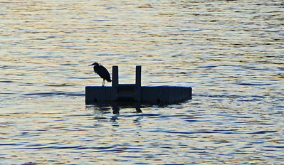 The heron, well known in Davis Bay, seemed unperturbed by the activity.
