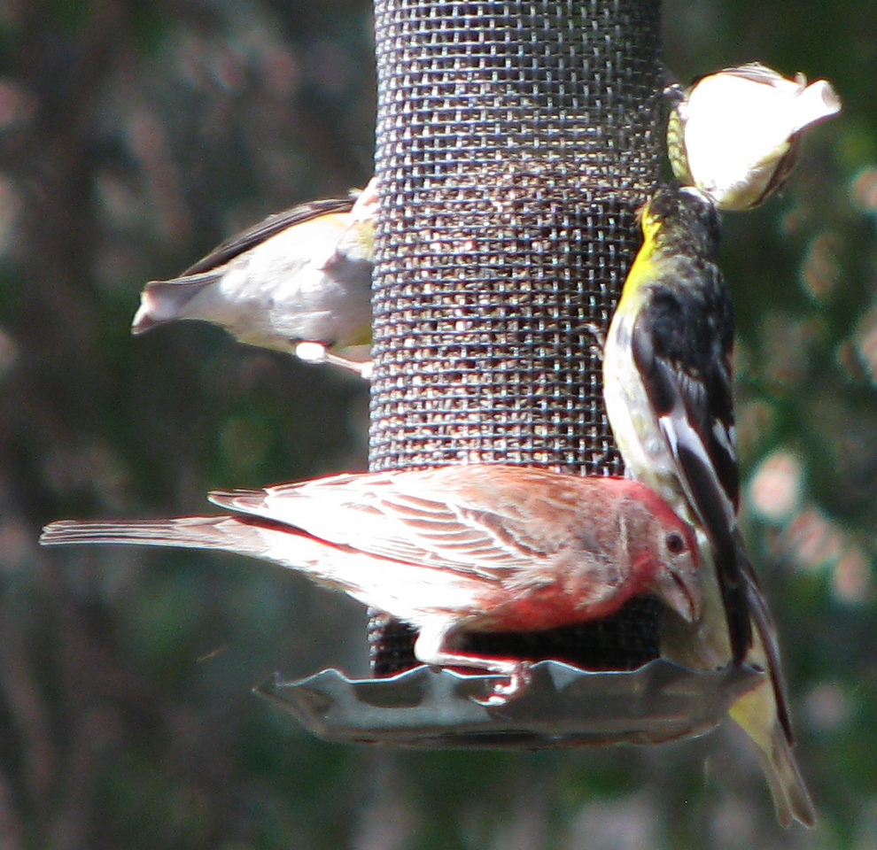 House Finch and Lesser Goldfinch