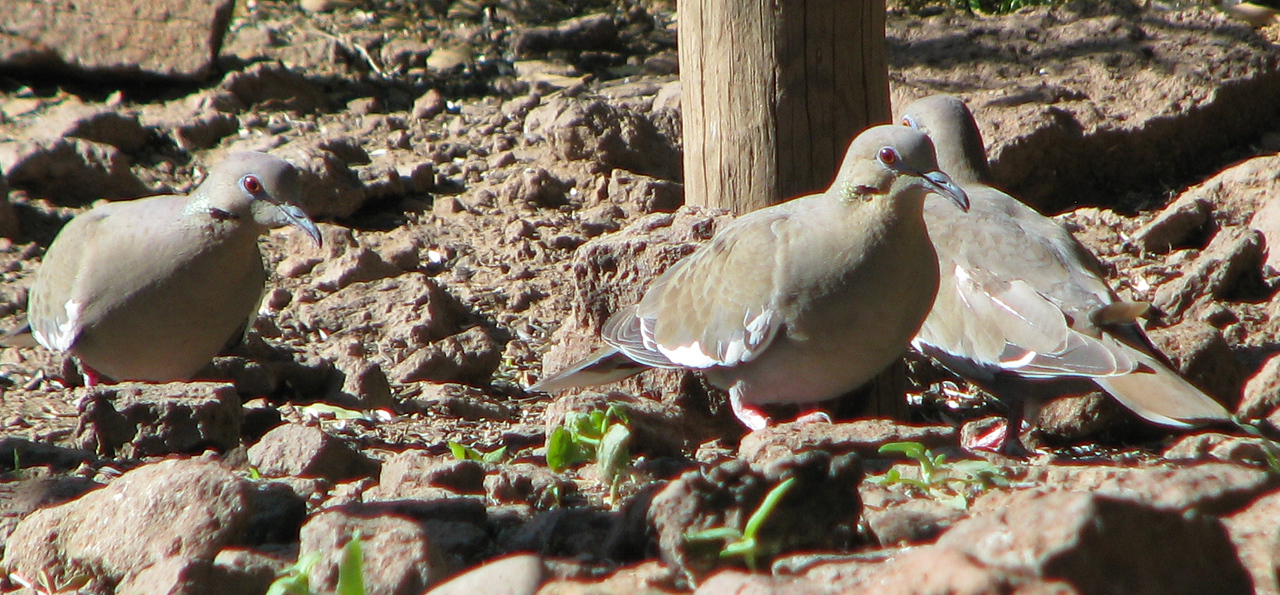 White-winged Doves