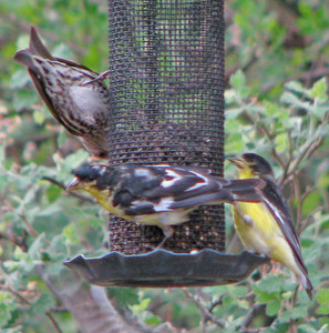 Lersser Goldfinches