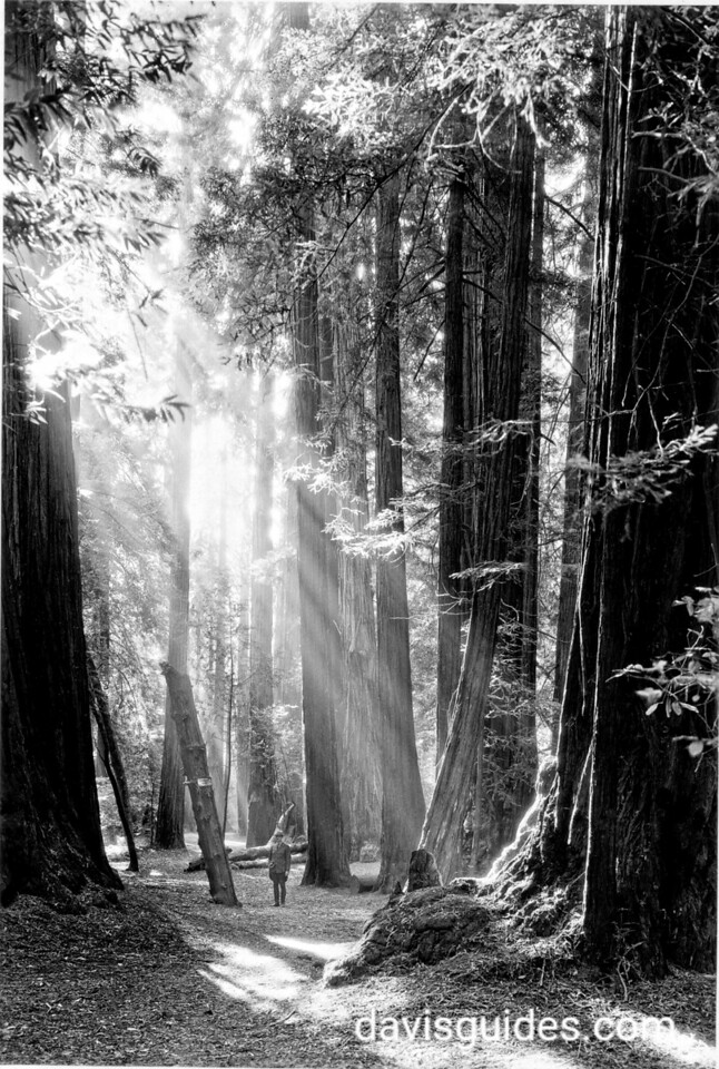 A hiker among the tall trees, Muir Woods National Monument, 1936