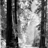Sunlight through the trees, Muir Woods National Monument, 1936