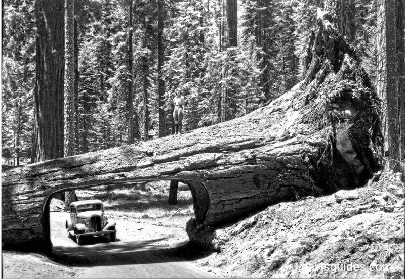 Automobile approaching Tunnel Tree, Sequoia and Kings Canyon National Parks, 1940