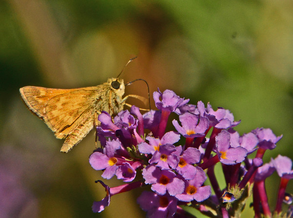 Dawn's Butterfly bush Skippers, 9-10-16