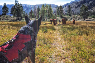 Sierra Nevada, Sierras, Eastern Sierras, hiking, trail, backpack, backpacking, cows, cattle dog, heeler, stumpy tail Australian cattle dog, herd, watching, observing, mountains, grass, trees, cowboy, free grazing, grazing, intensity, alert, dog