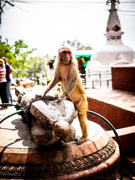 Haloed Macaque