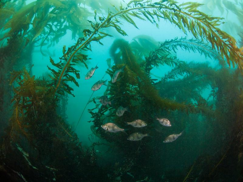 Pile perch school in the kelp at La Jolla Cove.