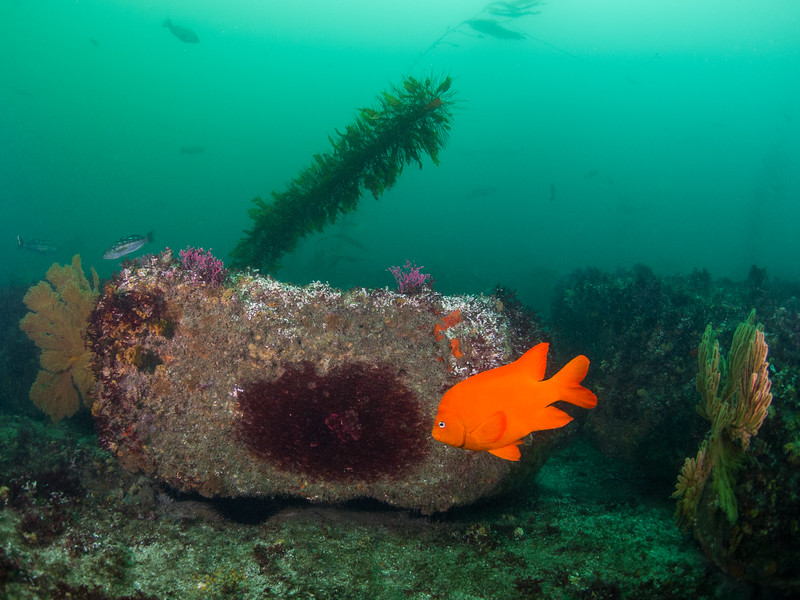 A male Garibaldi guards his red algae nest at La Jolla Cove.