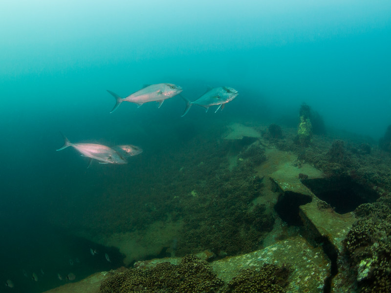 Pelagic fish on the wreck of the Indra.