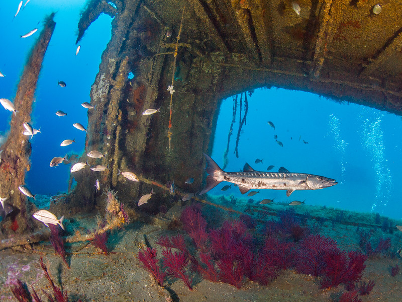 Great barracuda in the wreck of the Aeolus.