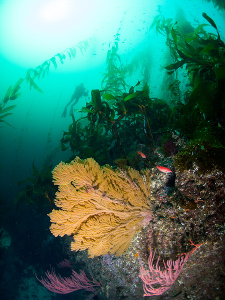 Dive buddy Ray behind a golden and red gorgonians at Petter's Rock.