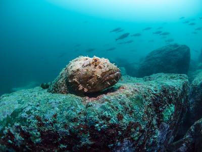 Stone scorpionfish at Mitlan.
