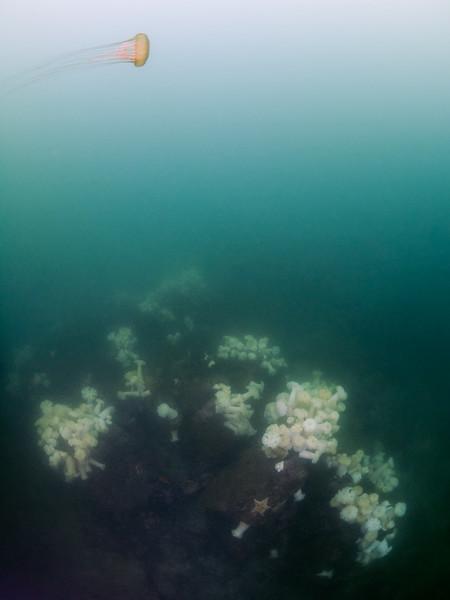 A sea nettle at Metridium Fields.