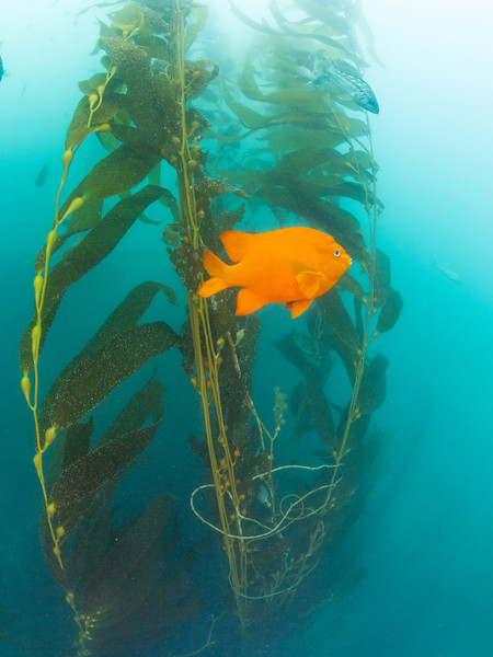 Garibaldi at La Jolla Cove.