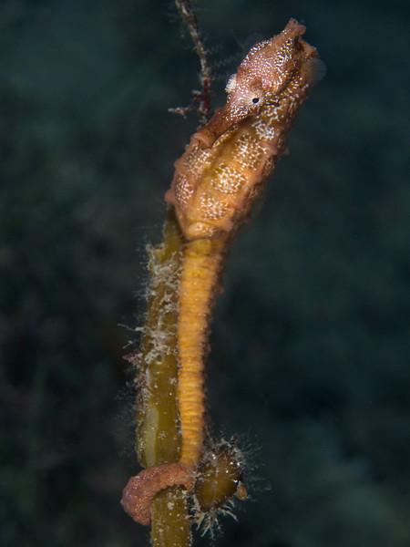 Female Pacific seahorse anchors on kelp at La Jolla Shores.