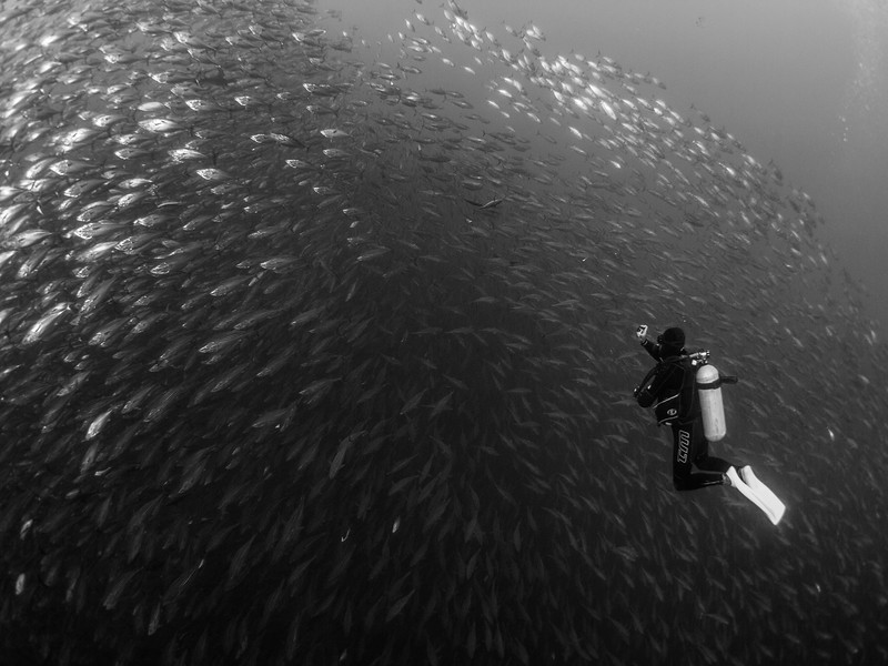 Dive guide Chabelo parts a baitball at Roca Partida.