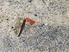A tiny shrimp camouflages as seaweed at Scripps Canyon.
