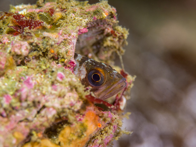 Juvenile copper rockfish in a barnacle shell at Middle Reef.