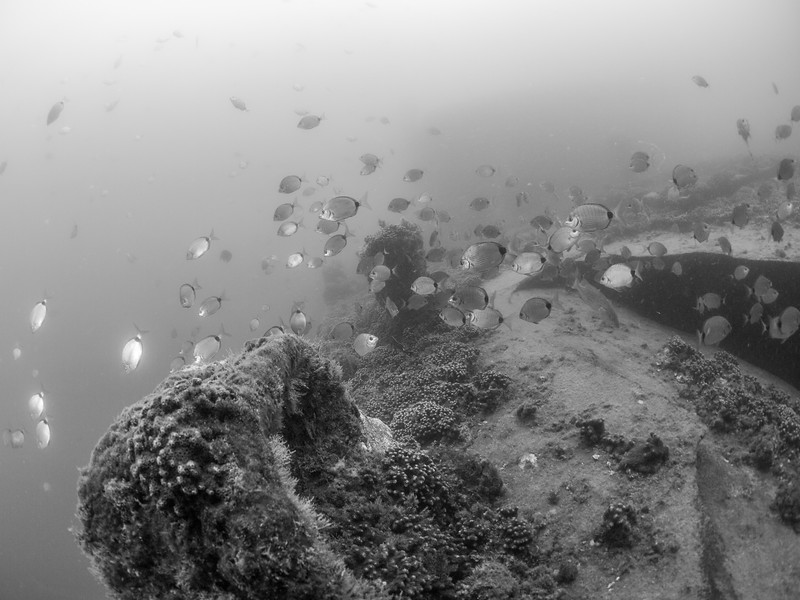 School of fish on the wreck of the Indra.