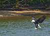 8/28/2011 Bald Eagle trying to catch a fish.  The Next frame in the original gallery is not as sharp and you can see the fish flying through the air as the eagle flies on withut it.