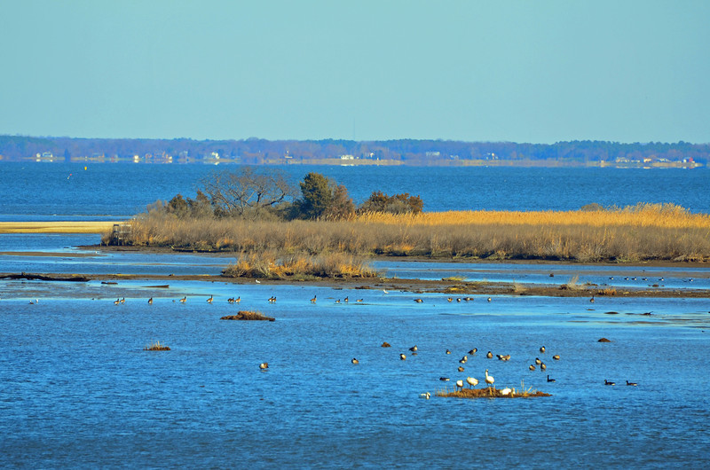 Popes Creek in foreground with Poromac River Beyond.  Far shore is Maryland.  Tundra Swanns and Canada Geese