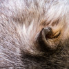 Wombat's ear