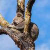 Koala at Tillgerry Nature Reserve