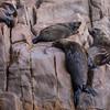 Australian Fur Seals on Cabbage Tree island off Port Stephens