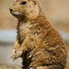 Black-Tailed Prairie Dog (Sow)
