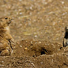 Black-Tailed Prairie Dog Sow with Pup
