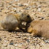 Black-Tailed Prairie Dog Pup w/Adult