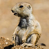 Black-Tailed Prairie Dog Pup<br /> (They open their eyes around 5 weeks and leave the burrow about a week later, so this pup is 6+ weeks old.)