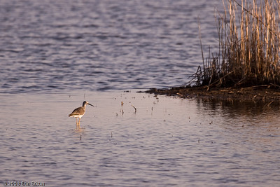 A greater yellowlegs takes a break from feeding to enjoy the sunset with us.