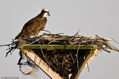 Osprey females lay their eggs towards the end of April.  That this female is looking down into the nest makes me wonder if she might have already laid her eggs.