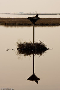 Mirror image of an osprey and its nest.