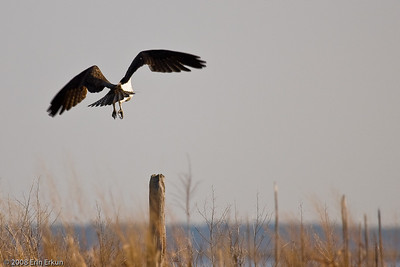 With business taken care of, the male osprey flies off his perch...