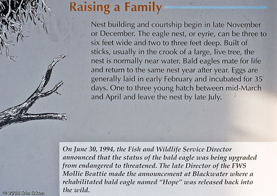 """Insight into bald eagle """"family life."""""""
