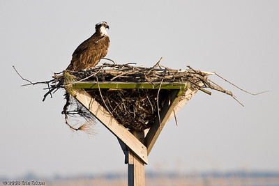 "The osprey is also known as the ""fish hawk.""  This nest is closer to shore, so we can see the female much better this time.  She is waiting for her mate to return to the nest."