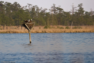 ... to join his mate on the nest.  Breeding pairs of osprey usually form a life-long bond.