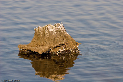 Nothing special; just liked the color and texture of this tree stump that is partially submerged in Blackwater River.