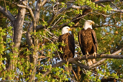 "The moment we've been waiting for - a pair of bald eagles within easy sighting distance.  The species is the only eagle unique to North America.  (At one time, the word ""bald"" meant ""white,"" not hairless.)"